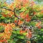 Arbre à fleurs oranges - MYANMAR