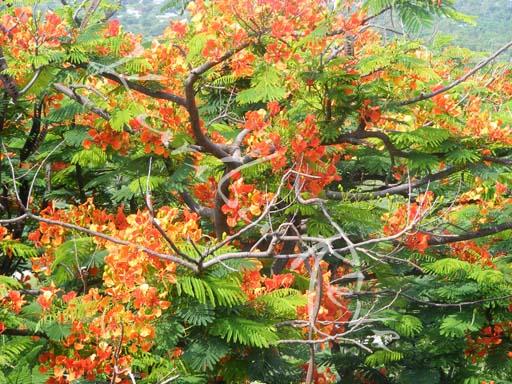 arbre fleurs oranges karibu r ve association humanitaire intervenant au kenya m 39 fangano. Black Bedroom Furniture Sets. Home Design Ideas