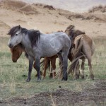 Chevaux sauvages - MONGOLIE