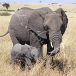 Eléphants du Parc Amboseli - KENYA