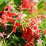 Fleurs rouges - Lamu - KENYA